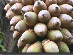 Babaçu transforma vida da população do Bico do Papagaio