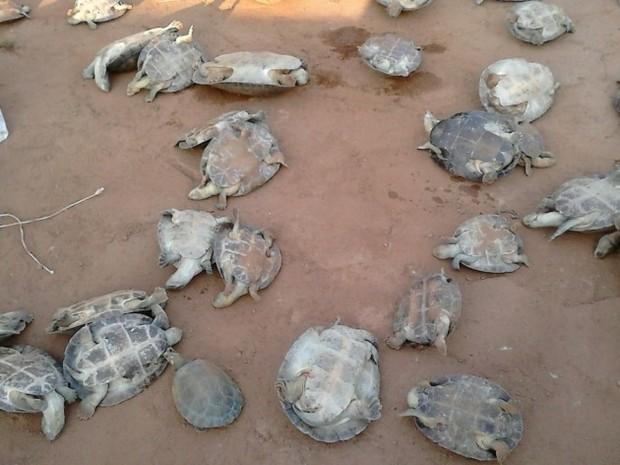 tartarugas_que_foram_soltas_no_rio_araguaia