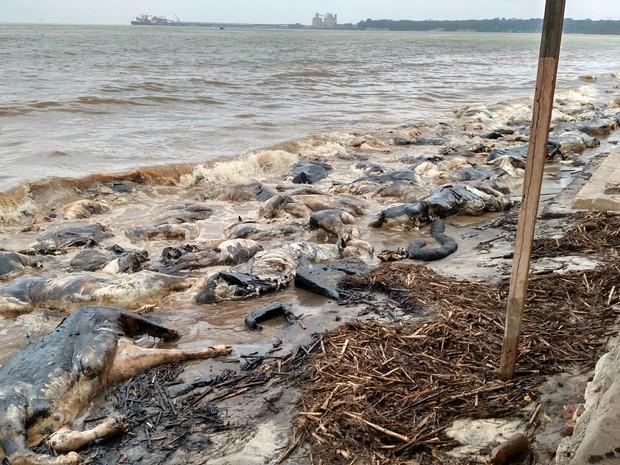 Animais mortos em naufrágio no porto de Barcarena acumularam-se nas praias do município, contaminando o rio e afetando o cotidiano das comunidades locais